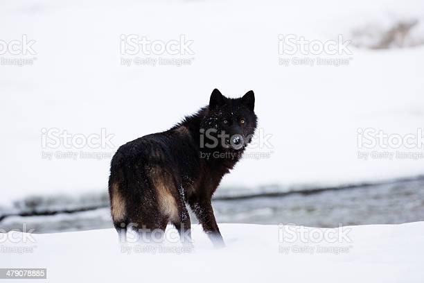 Lobo Escuro - Fotografias de stock e mais imagens de Animais caçando