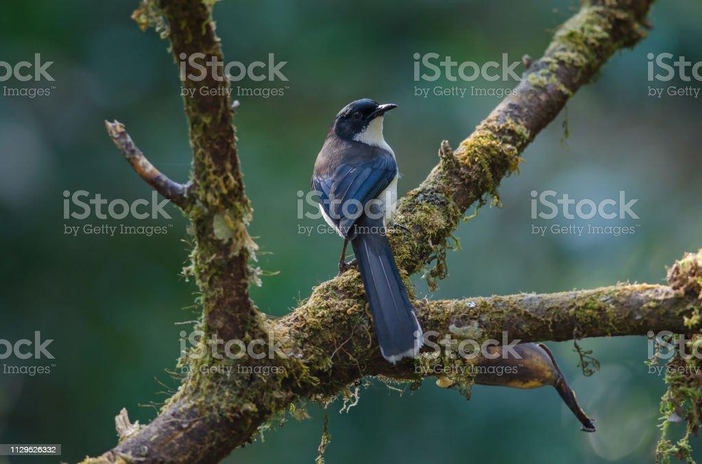 Dark-backed Sibia bird in nature Thailand