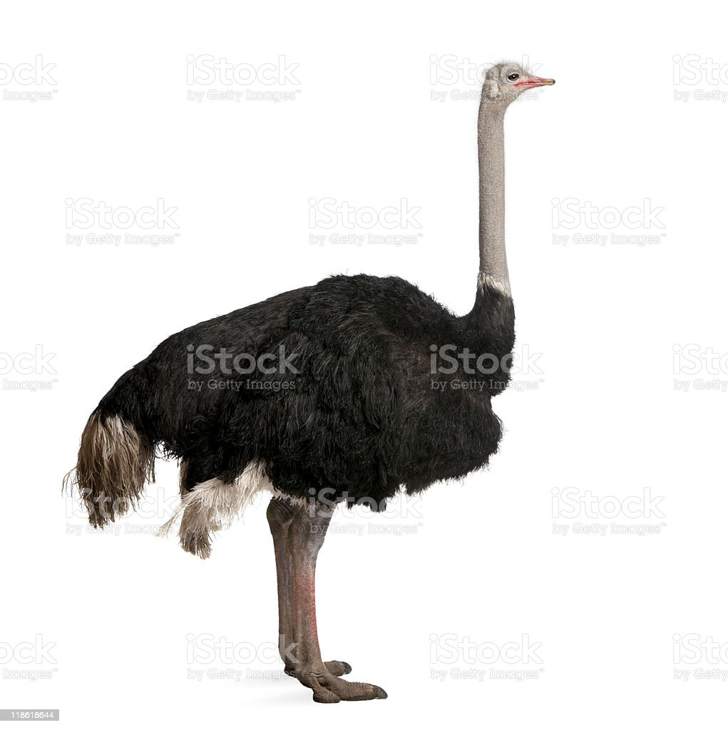 Dark-colored male ostrich on white backdrop stock photo