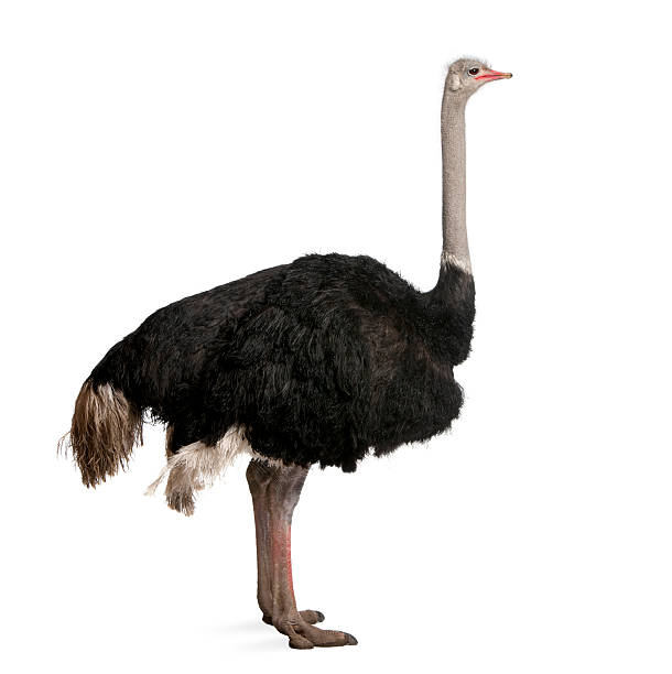 dark-colored male ostrich on white backdrop - struisvogel stockfoto's en -beelden