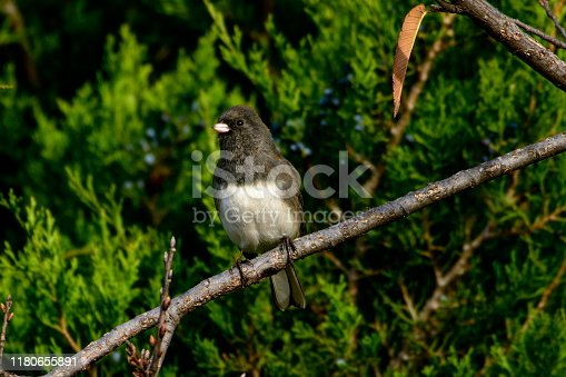 Dark-eyed Junco - Junco hyemalis - perched on branch with evergreen background