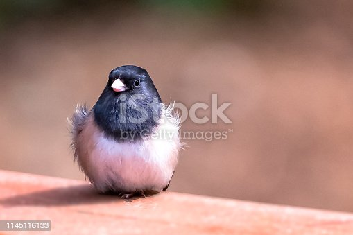 Dark-Eyed Junco having a bad feather day