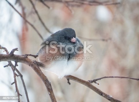 Dark-eyed Junco (junco hyemalis) , the Pink-sided race, perching in a snowstorm.