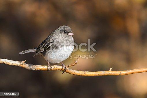 Dark eyed Junco bird perched on a branch