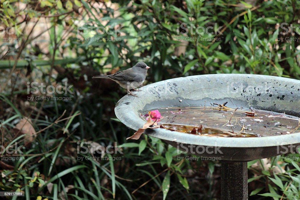 Dark-eyed Junco Songbird at Birdbath stock photo