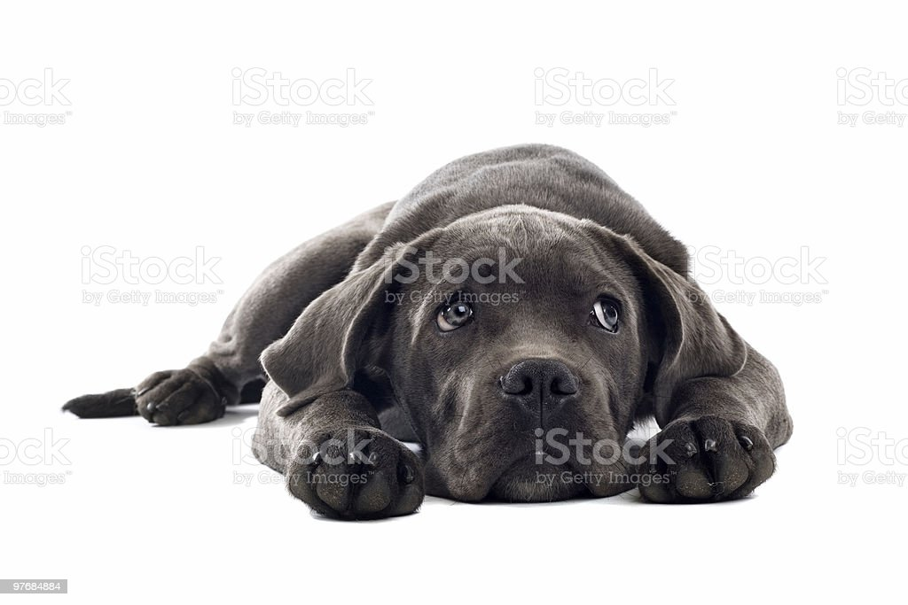Dark-gray Cane Corso puppy with head between paws stock photo