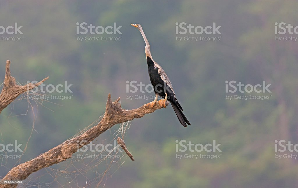 Darter looking for food stock photo