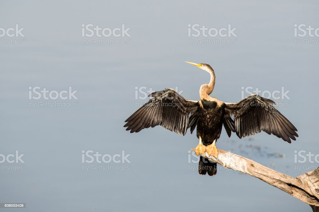 Darter or Snakebird in Keoladeo National Park, India stock photo