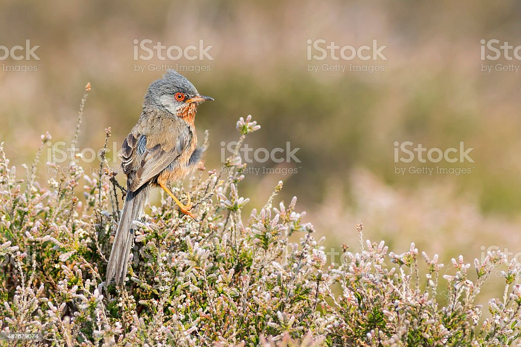 Dartford warbler (Sylvia undata) Dartford warbler (Sylvia undata) perched on heather 2015 Stock Photo