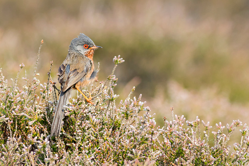 Dartford Warbler Stock Photo - Download Image Now