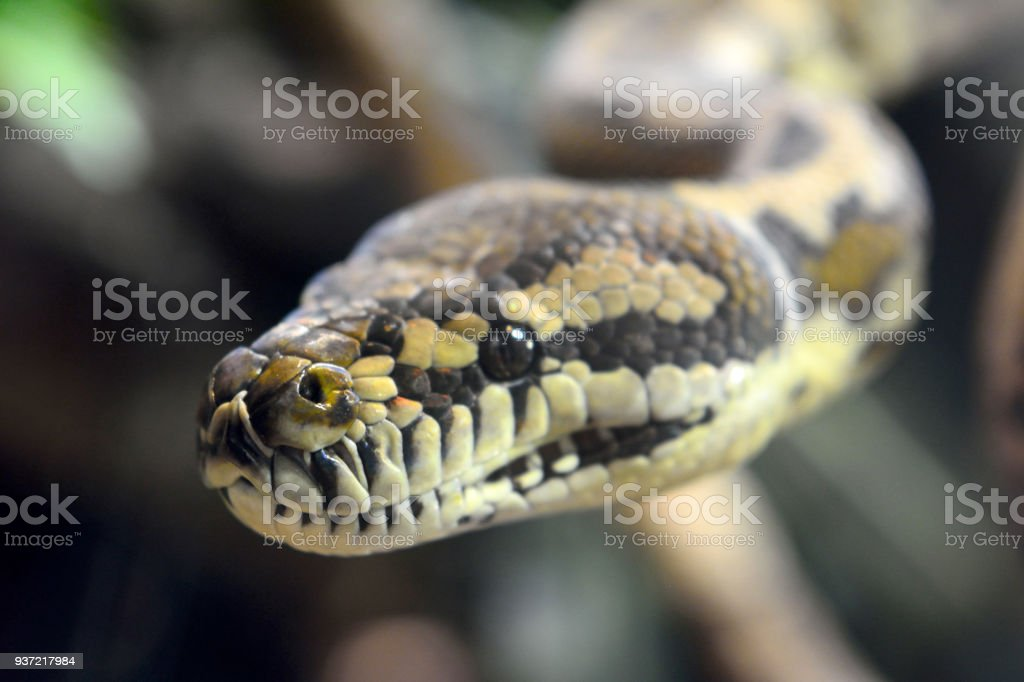 Darwin Carpet Python (Morelia spilota variegata) stock photo