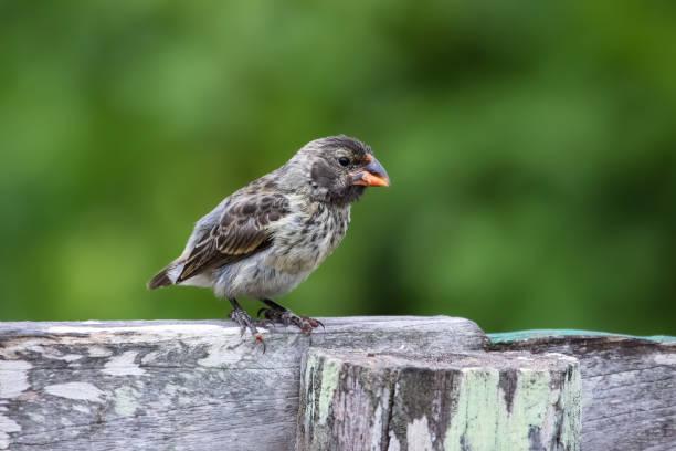 Darwin Finch oder mittelfein gemahlenen Finch Pearching auf einen Stamm-stub – Foto