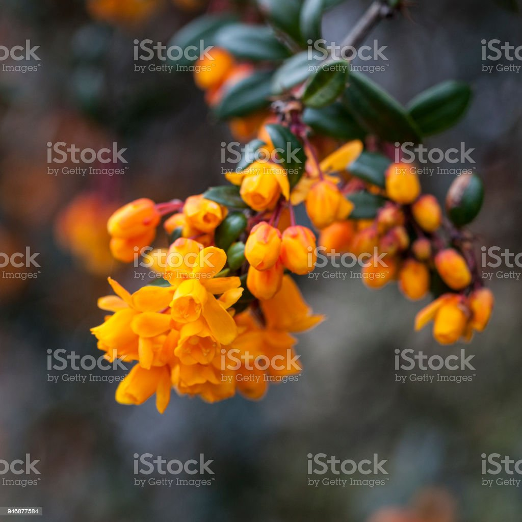 Darwins Barberry stock photo