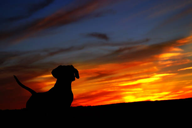 Daschund dog looking at sunset picture id185726780?b=1&k=6&m=185726780&s=612x612&w=0&h=vblqfzovmzll1jxejxshr7dtd fmevw8wwvg5cbnnhg=