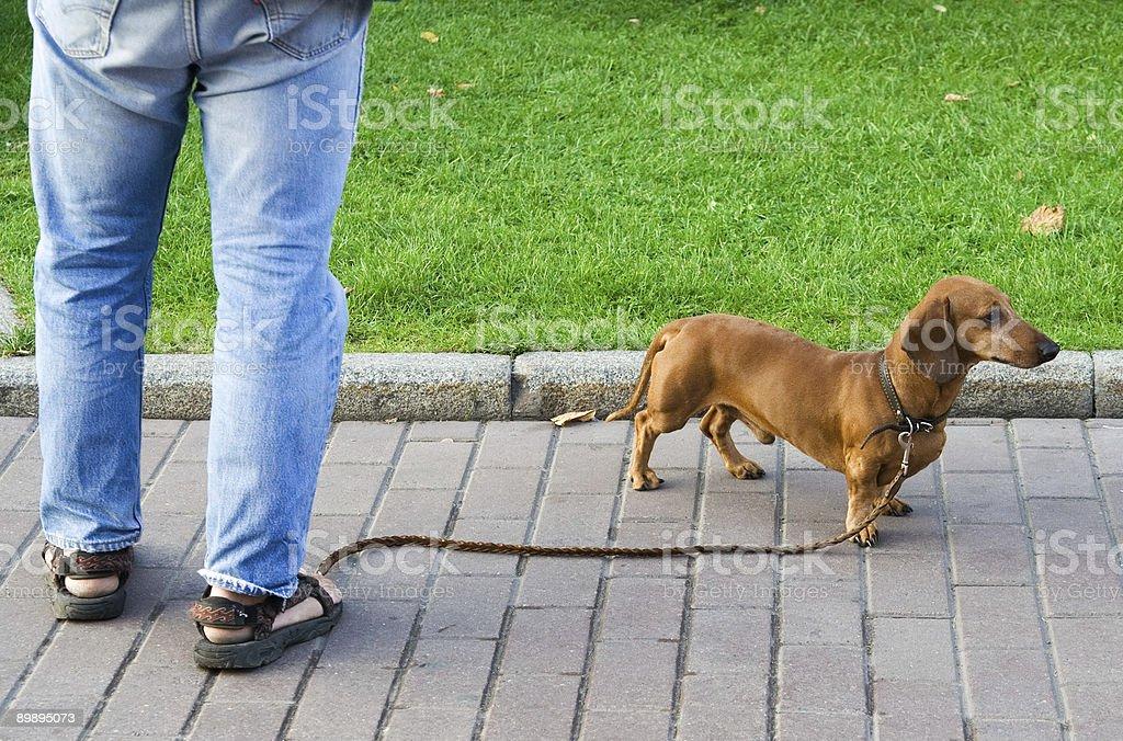 Daschund Hund Lizenzfreies stock-foto