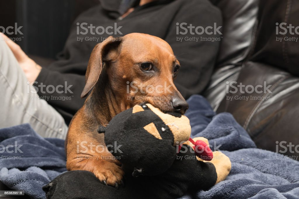 Daschund guarding her toy stock photo