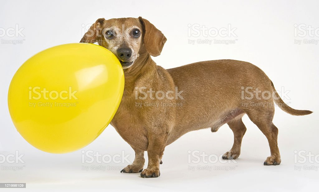 Daschund with His Balloon 2 royalty-free stock photo