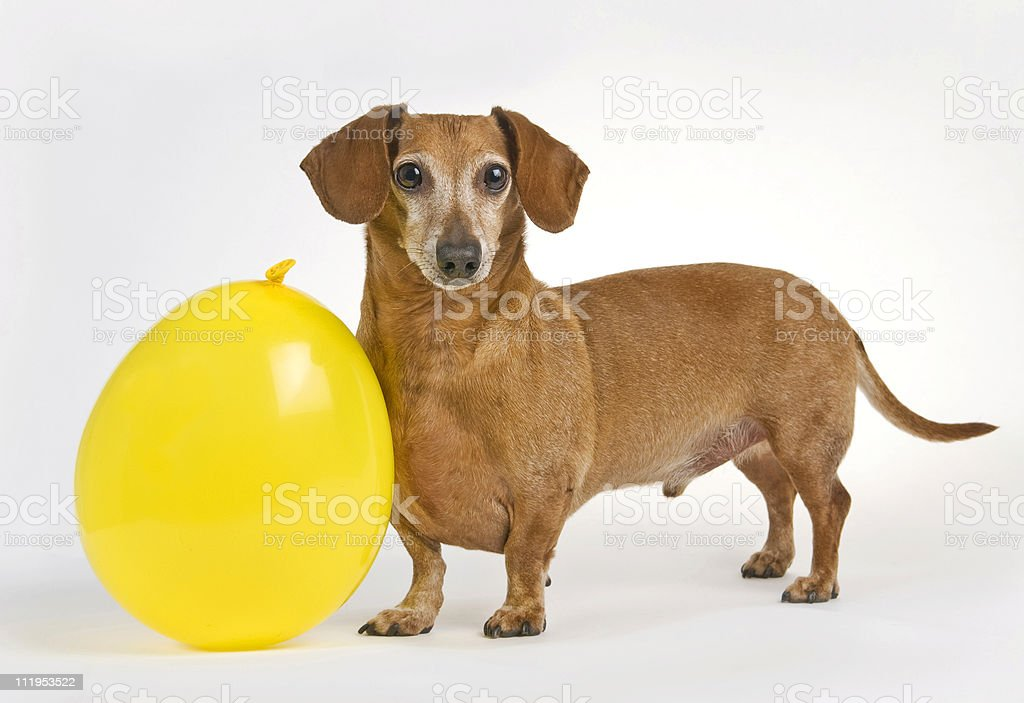 Daschund With His New Balloon 1 royalty-free stock photo