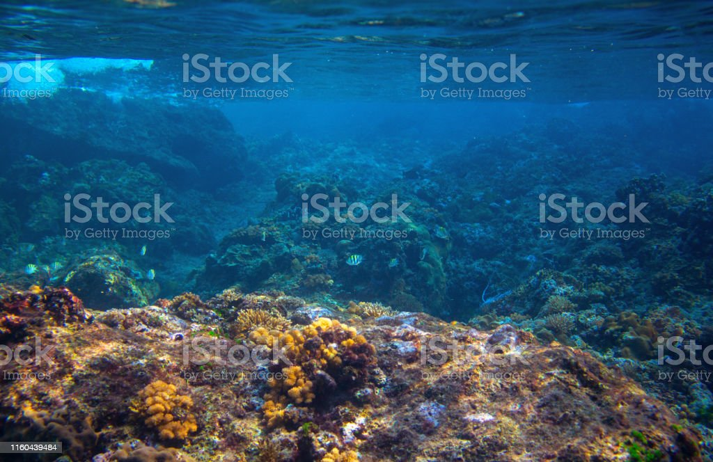 Dascillus fish in coral reef landscape. Tropical sea animal...