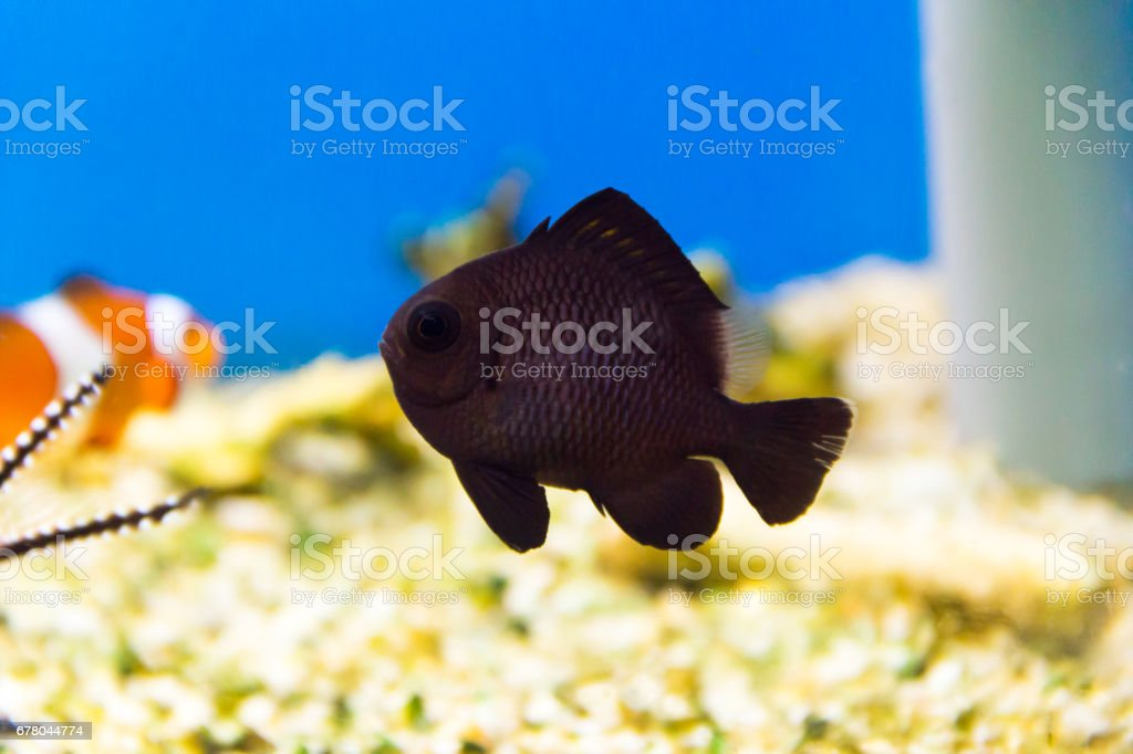 Dascyllus trimaculatus domino stock photo