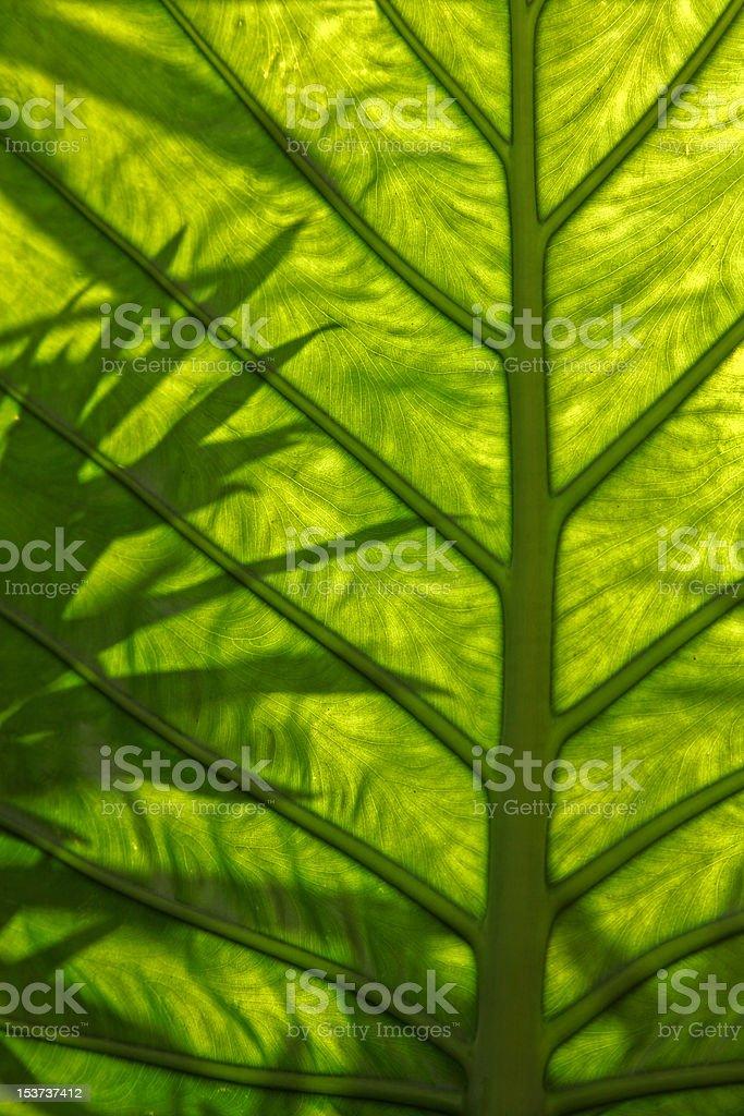 Dasheen leaf royalty-free stock photo
