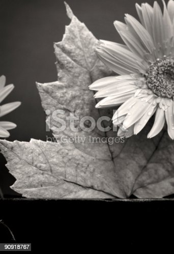 gerber daisy in pot with various background colors, blue, pink, yellow, black and a maple leaf depicting the transition from summer to autumn