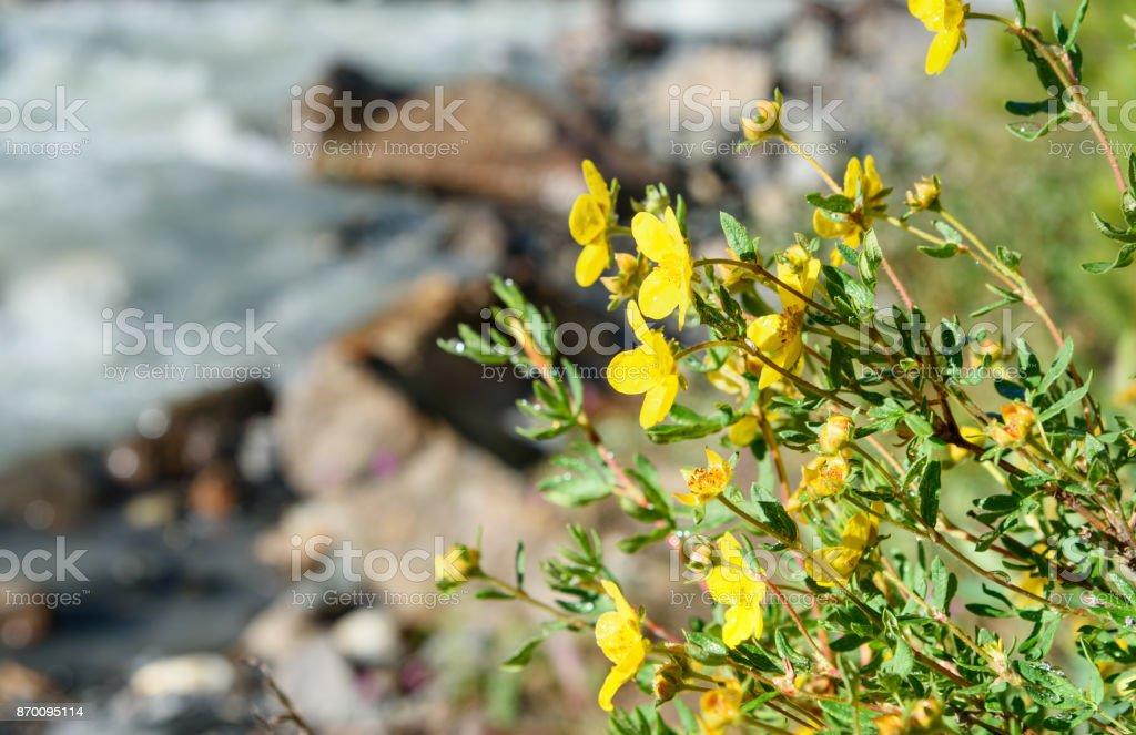 Dasiphora Fruticosa Blumen – Foto