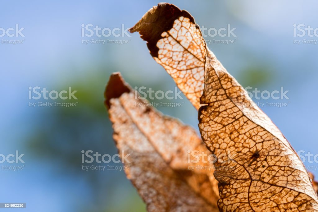 datail of leaves after being consumed by caterpillars stock photo
