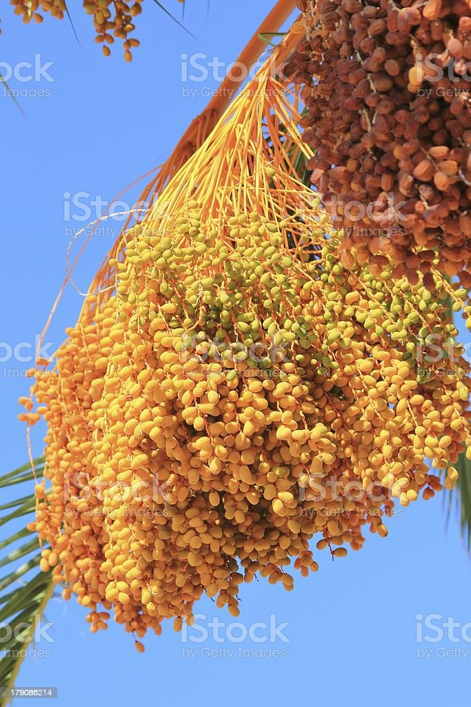 Date Fruit and Palm - Sweet Delicacy royalty-free stock photo