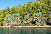 Very rare kind of a date palm tree near sea at aegean coasts. Date fruit is tropical sweet fruit which grows on a palm tree. Botanical name is phoenix dactylifera.