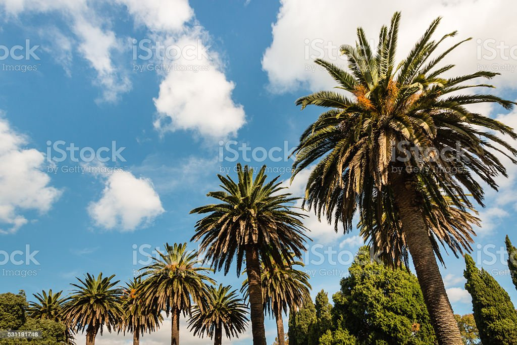 date palm and cypress trees against blue sky stock photo