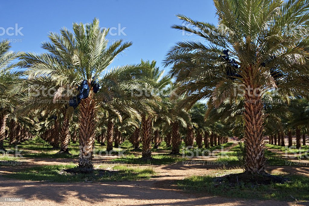 date palm farm stock photo