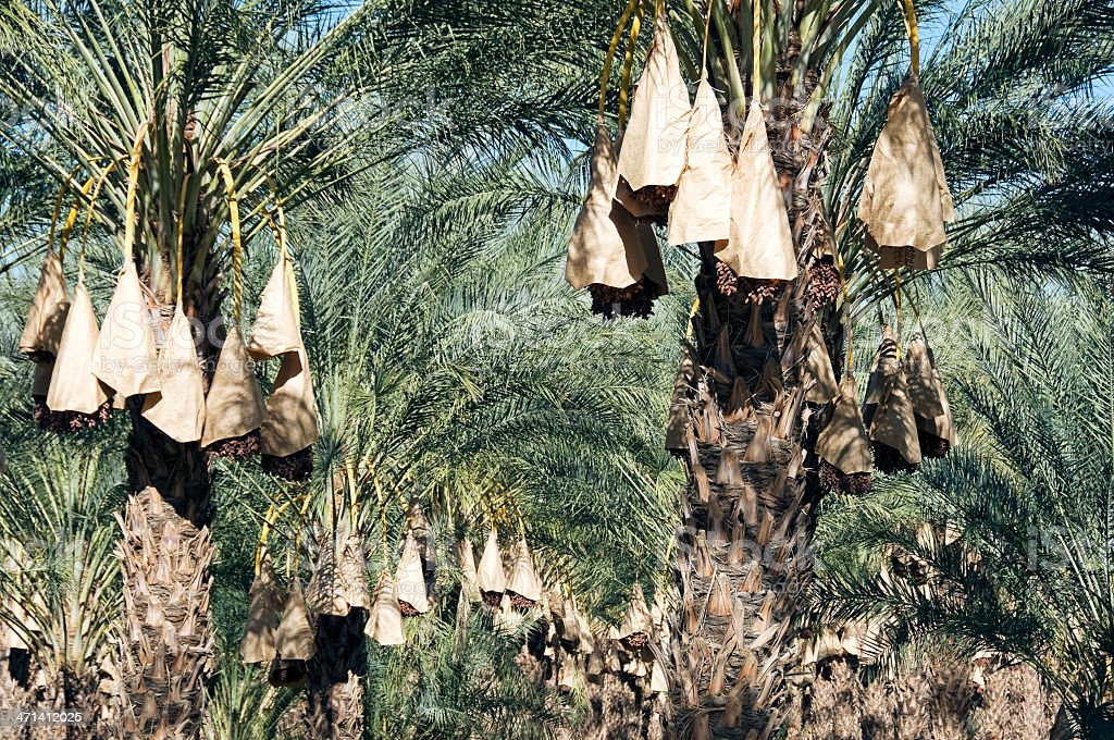Date palm grove with ripe fruit in southern California stock photo