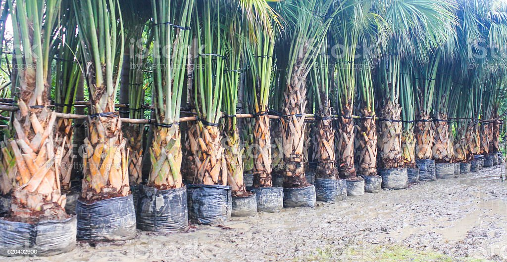 Date palm in nursery stock photo