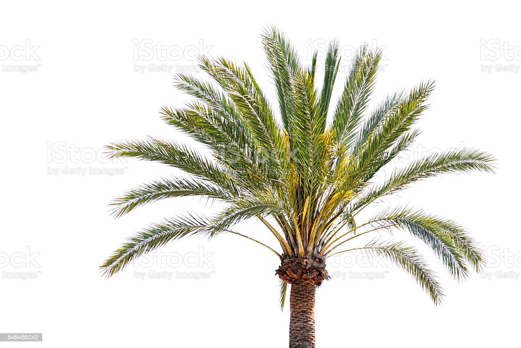 Date palm isolated on white stock photo