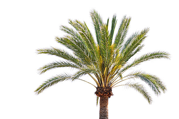 Royalty Free Date Palm Tree Pictures Images And Stock Photos Istock
