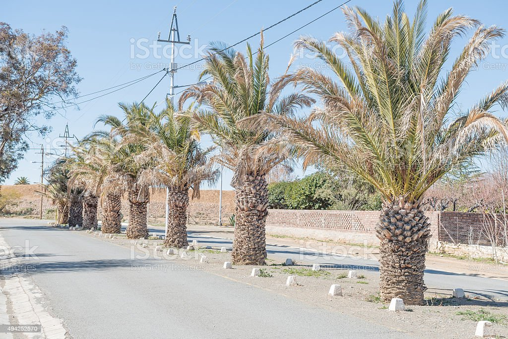 Date palm lined street in Carnavon stock photo