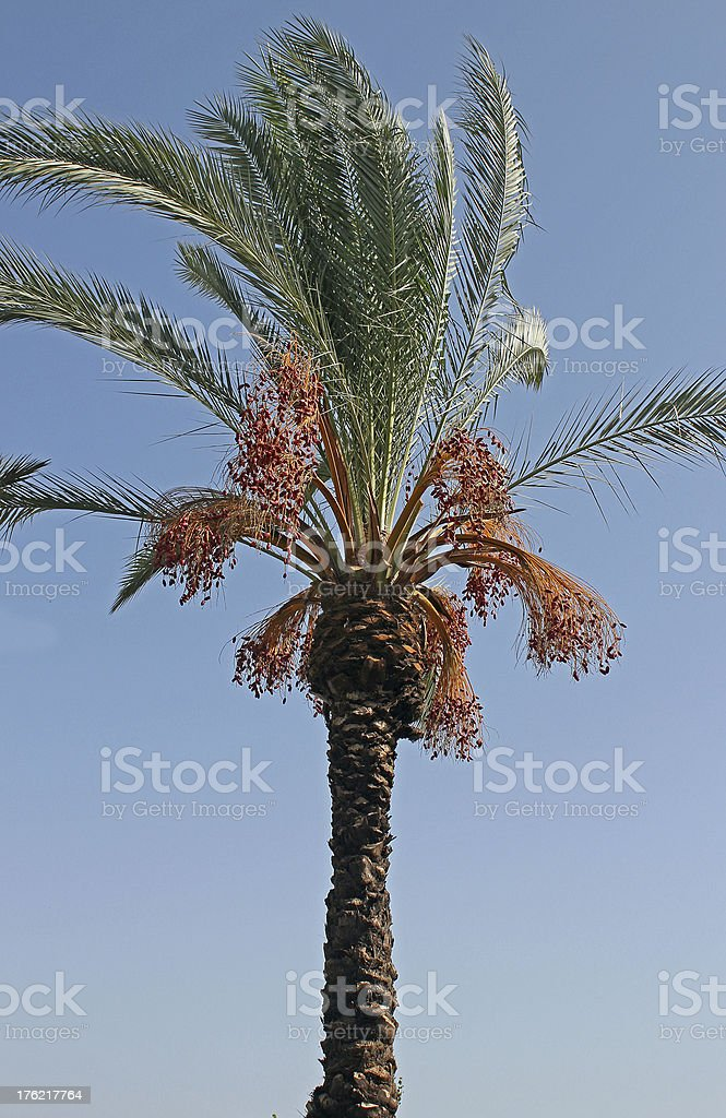 date palm royalty-free stock photo
