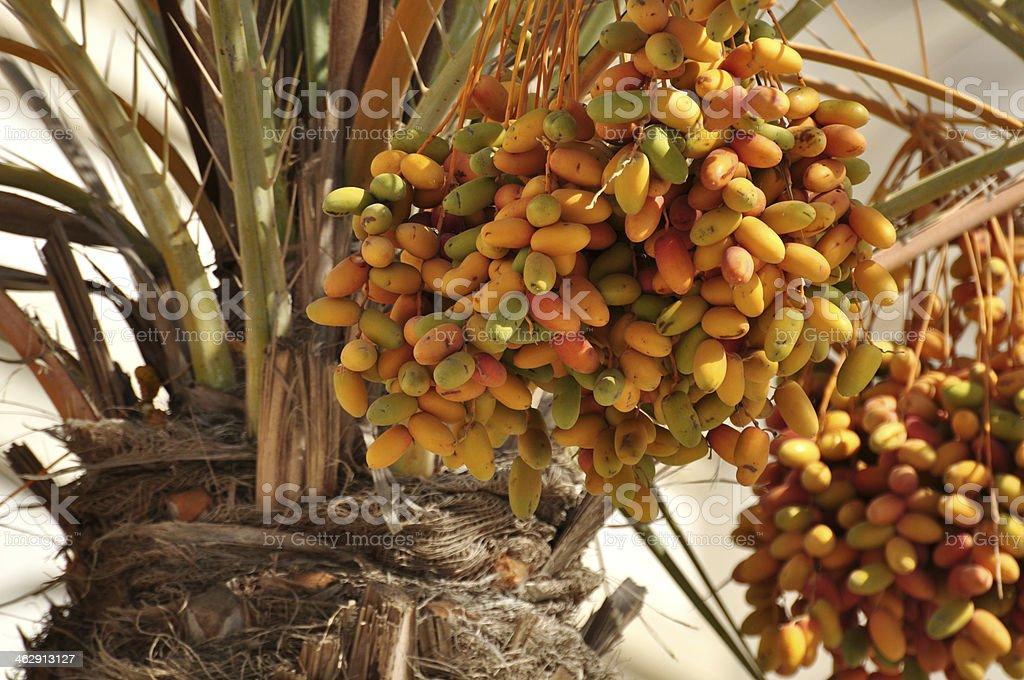 Date palm stock photo