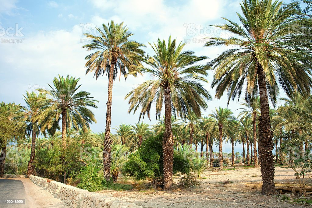Date palm plantation near Dead Sea royalty-free stock photo