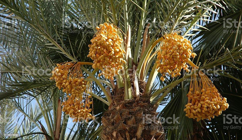 Date Palm Tree stock photo