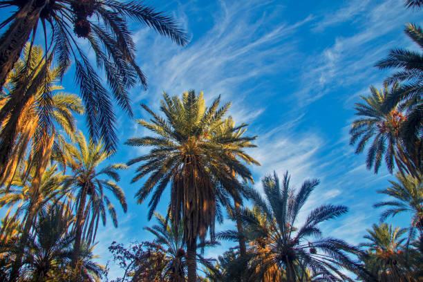 Vahada beyaz bulutlar ile mavi gökyüzüne karşı Tarih meyve ile Tarih Palmiye ağacı stok fotoğrafı