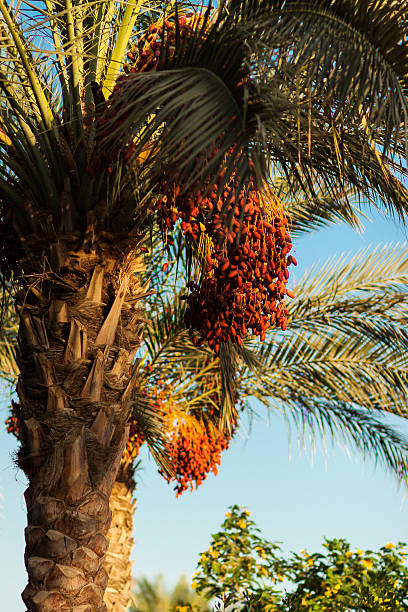 Date Palm Tree Stock Photos Pictures Amp Royalty Free