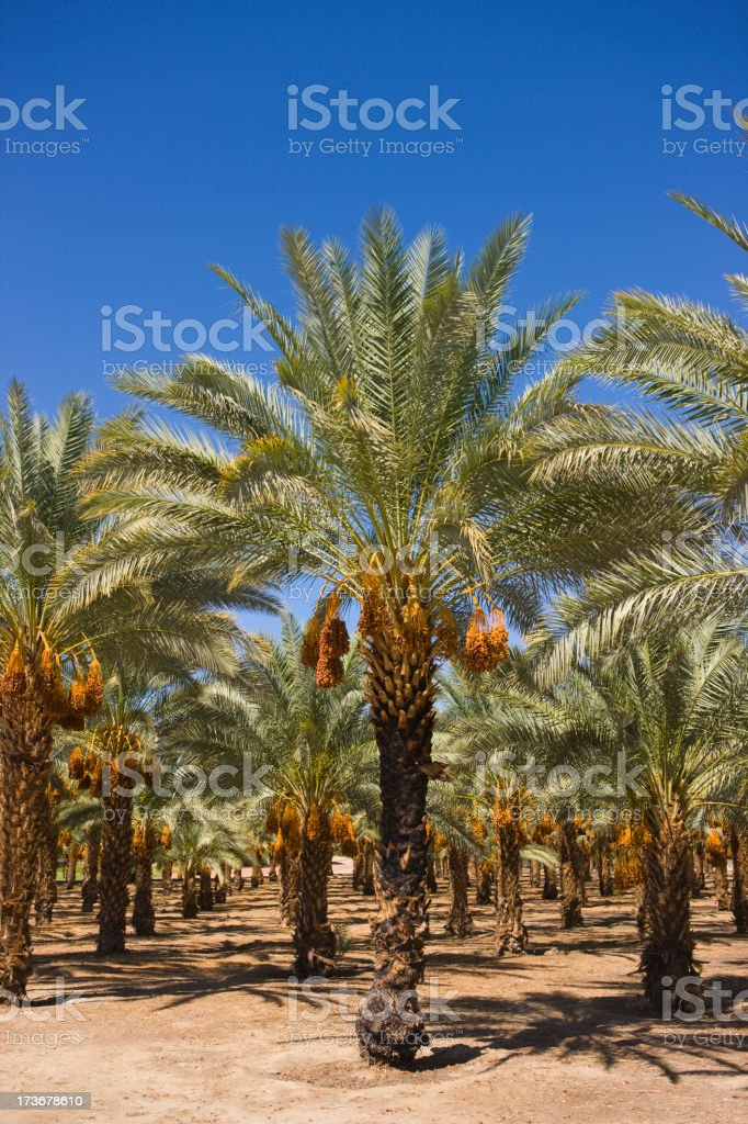Date Palm Trees stock photo