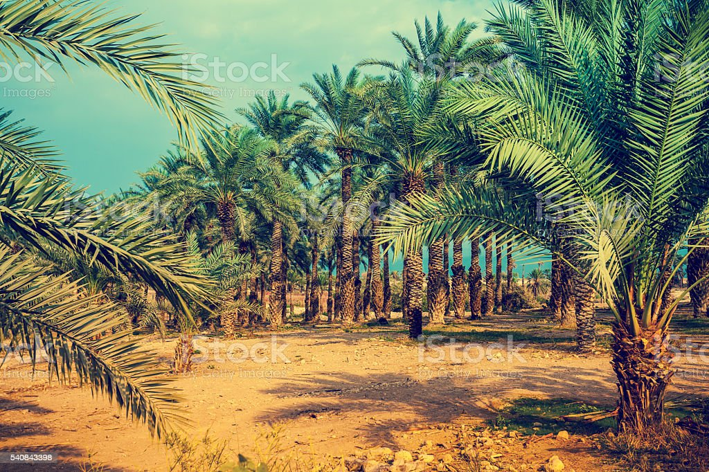 Date palm trees plantation stock photo