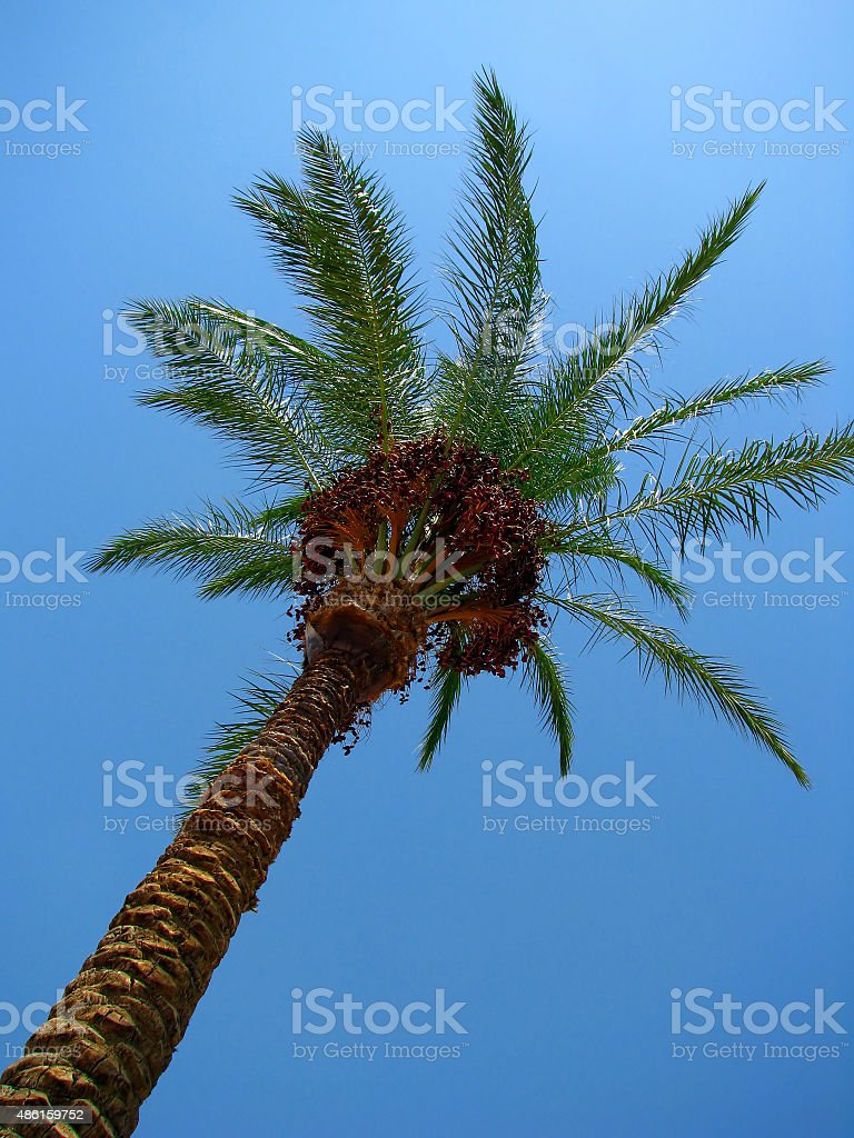 Date palm with ripe fruits under the blue sky stock photo