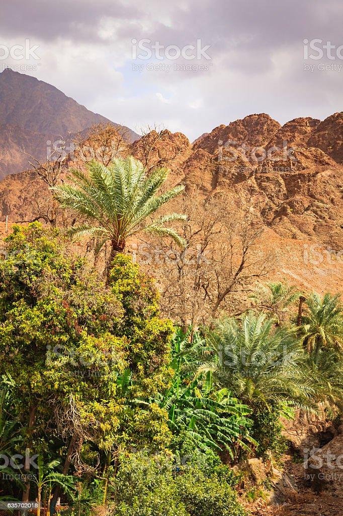 Date palms and fruit trees in Arabian Desert Wadi. royalty-free stock photo