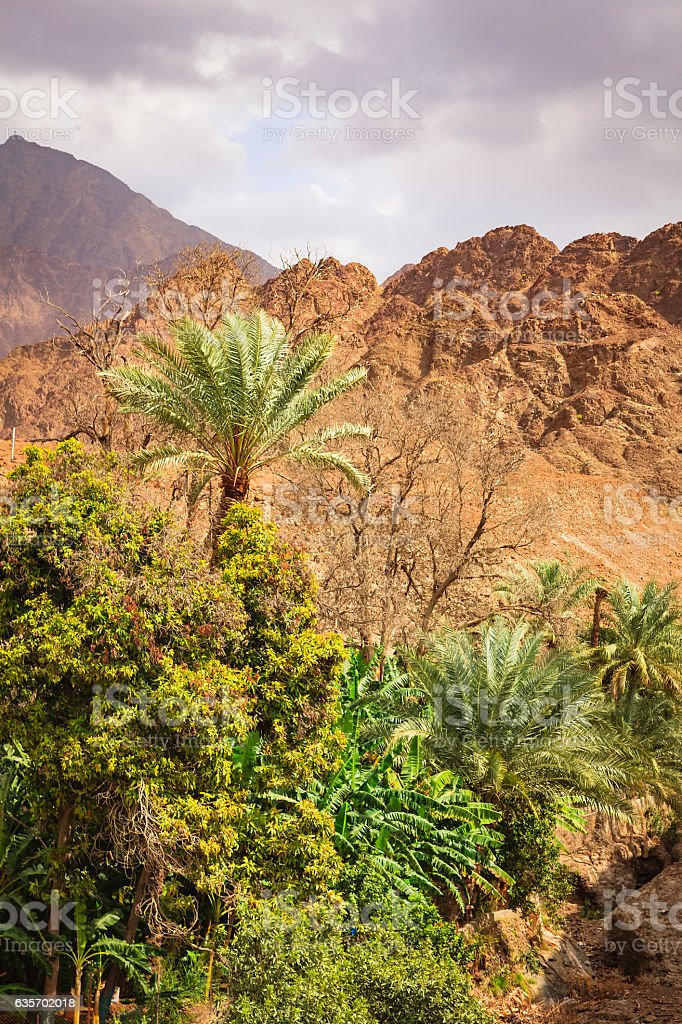 Date palms and fruit trees in Arabian Desert Wadi. stock photo