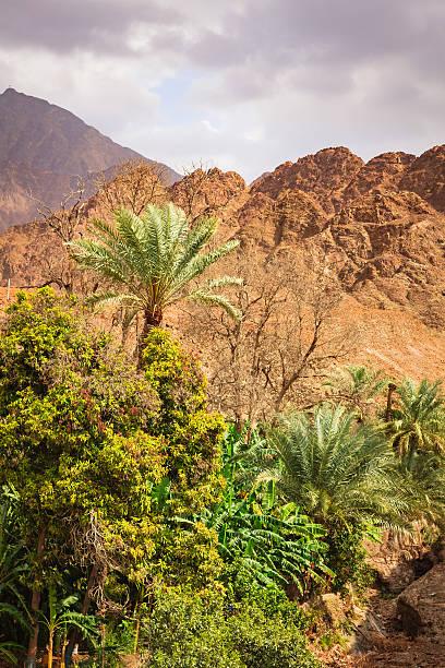 Date palms and fruit trees in Arabian Desert Wadi. stock photo