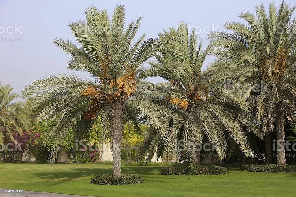 Datum Palms in Obst-Dubai-VAE – Foto